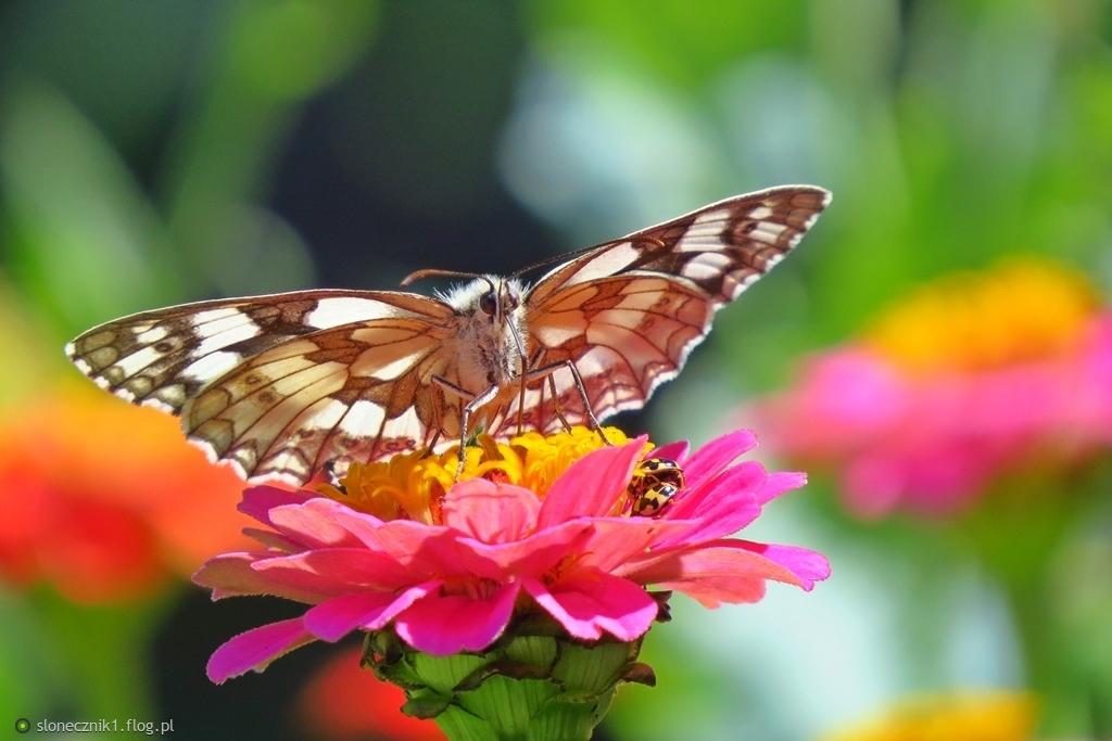 ... a na razie fruwają motyle ...