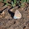 Modraszek ikar (Polyommat<br />us icarus)